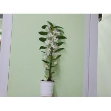 Дендробиум (орхидея)